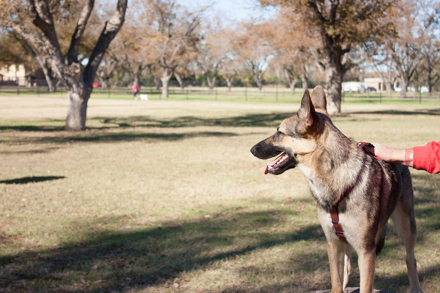 German Shepherd with its owner at the Bark Park in Georgetown, TX