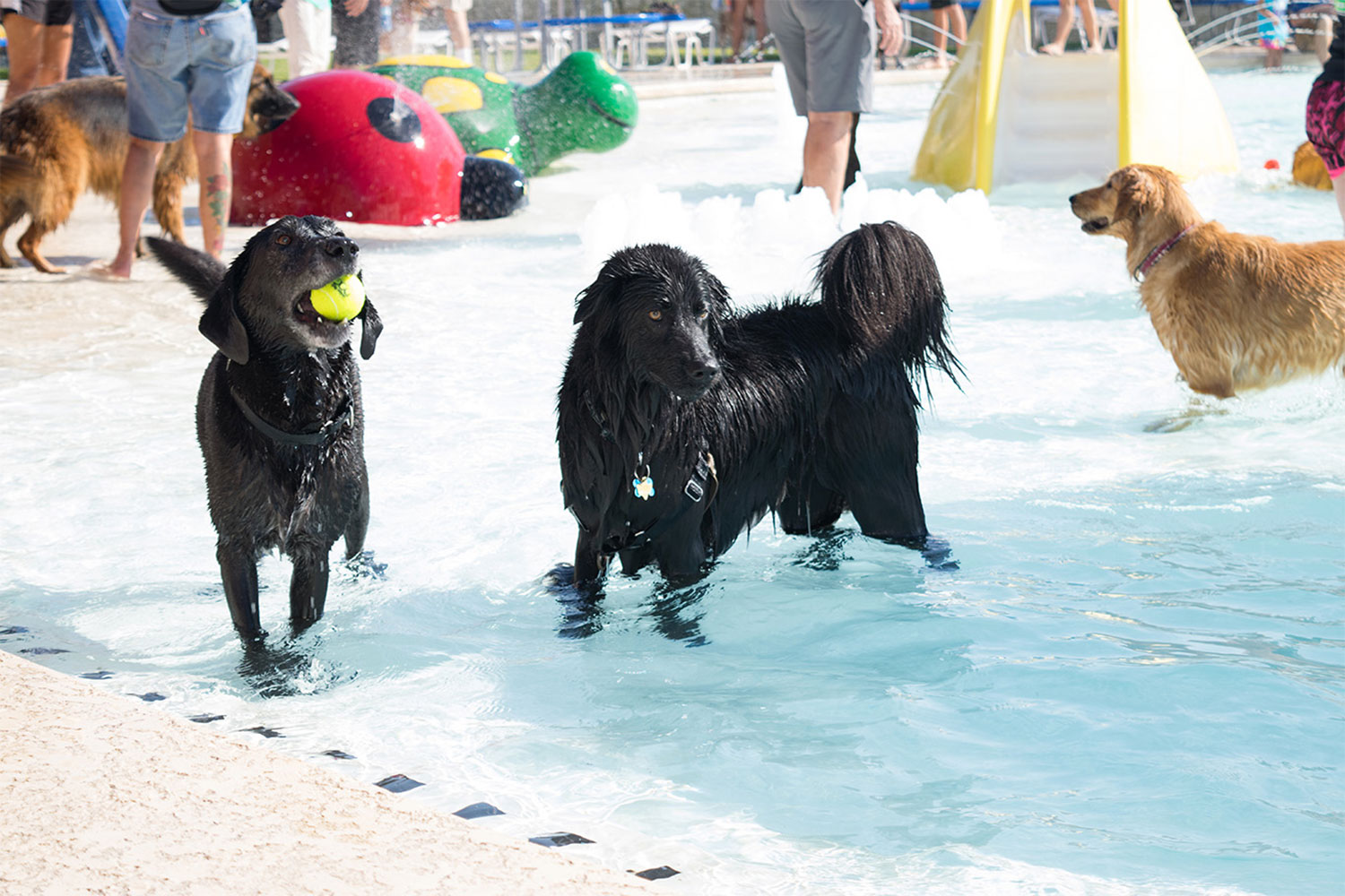 Two black labs playing in the pool at K-9 Kerplunk in Georgetown, tX