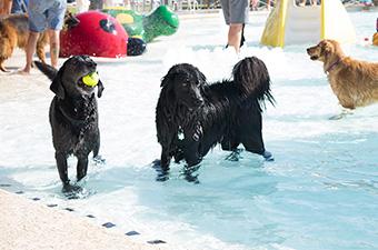 Two black labs play in the pool at the K-9 Kerplunk in Georgetown, TX