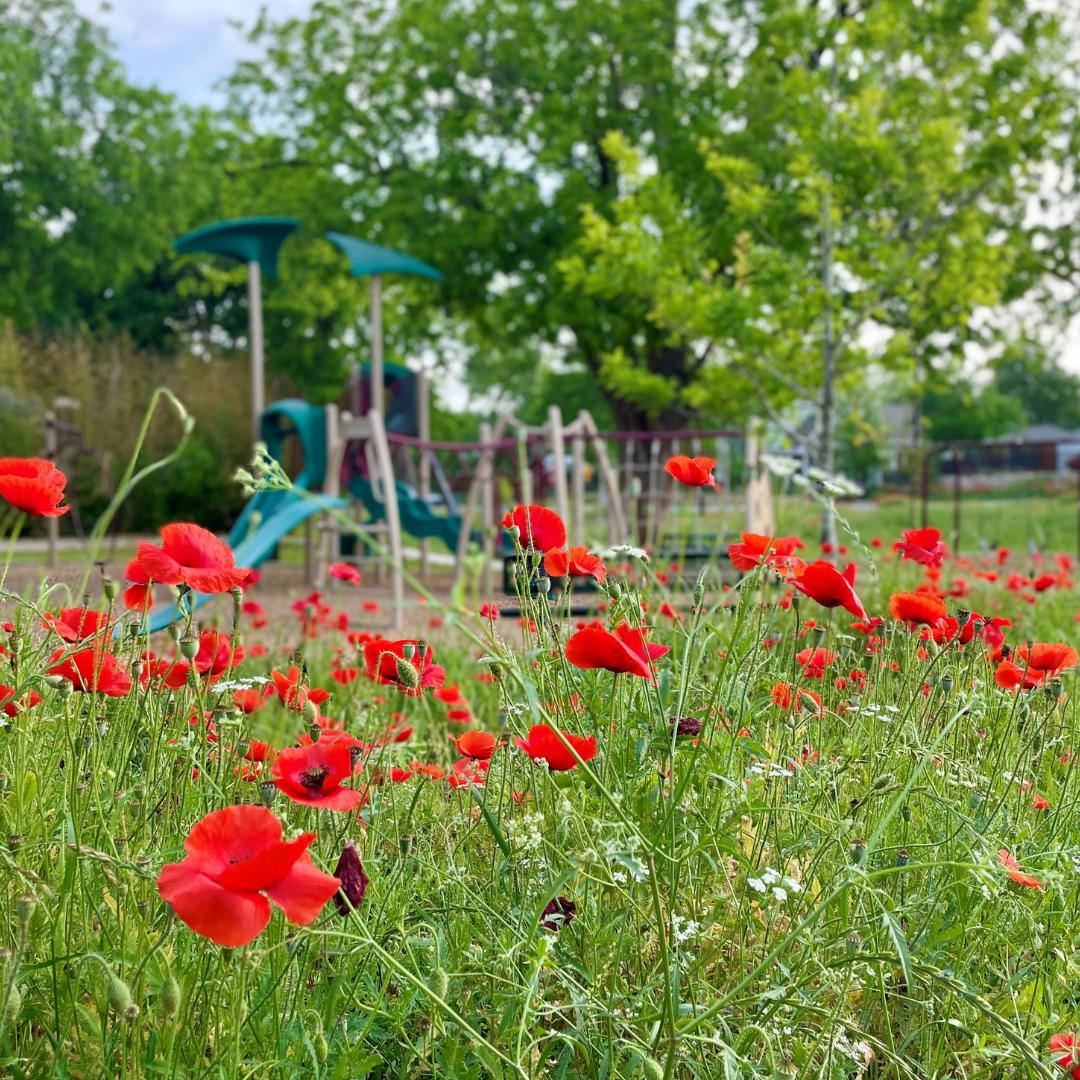 Edwards Park Poppies